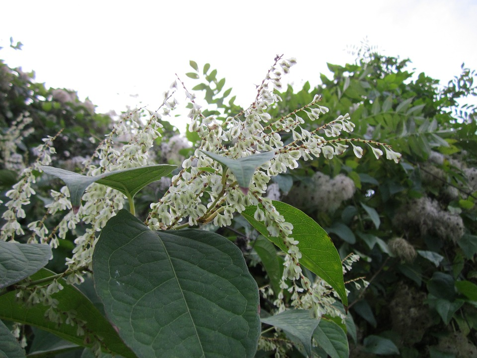 japanese knotweed for blog