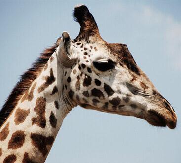 giraffe case study